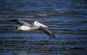 Картинка Птицы Пеликаны Летящий