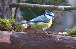 Фото Птицы Ветвь Tit