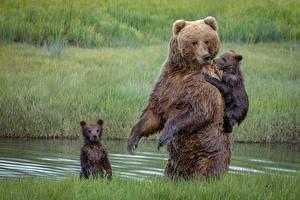 Картинки Медведи Бурые Медведи Детеныши Мокрые