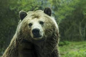 Фотографии Медведи Гризли Морда Смотрит Нос Животные