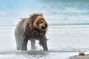 Фото Медведи Гризли Брызги Животные
