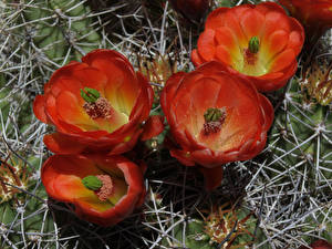 Фотография Кактусы Вблизи Красный Цветы
