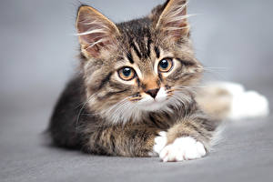 Обои Кошки Серый фон Котята Смотрит Морда