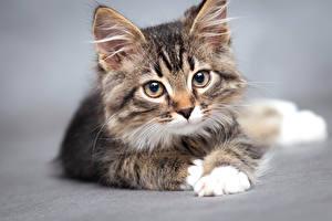 Обои Кот Сером фоне Котенка Смотрит Морда Животные