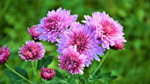Картинки Хризантемы Розовый Цветы