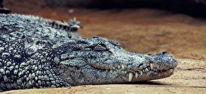 Картинка Крокодилы Клыки Голова Животные