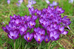Обои Шафран Крупным планом Фиолетовый