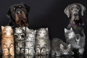 Картинка Собаки Коты Ротвейлер Котенок Животные