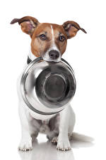 Фото Собаки Белый фон Джек-рассел-терьер Тарелка Животные