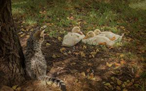 Обои Утки Кошки Втроем Животные