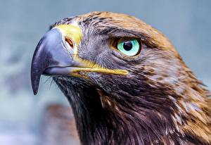 Фотографии Орел Крупным планом Глаза Голова Клюв Смотрят животное