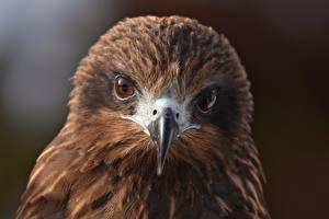 Фотография Глаза Птицы Взгляд Клюв Голова Black kite Животные