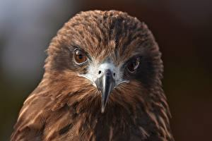 Фотография Глаза Птица Взгляд Клюв Голова Black kite животное