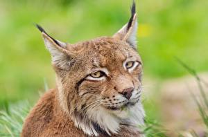 Обои Глаза Рысь Голова Взгляд Усы Вибриссы животное