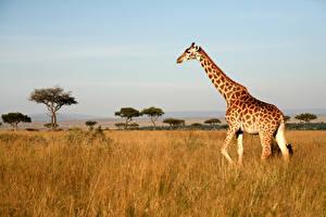 Картинки Жирафы Трава