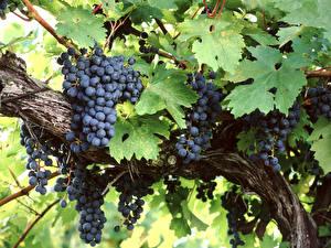 Картинки Виноград Ветвь Листва Пища