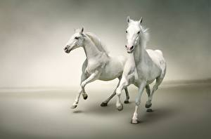 Обои Лошади Бег 2 Белый Животные