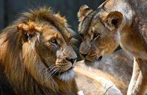 Фотографии Львы Львица 2 Морда Животные