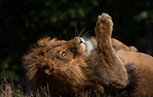 Обои Львы Лапы