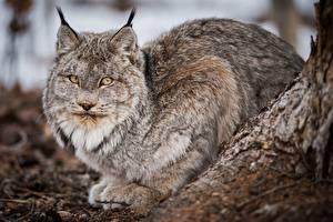Фотографии Рысь Взгляд животное