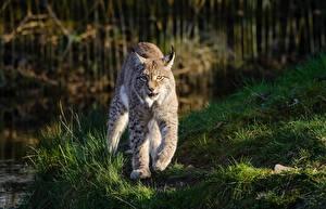 Фото Рыси Траве Лапы Смотрят Животные