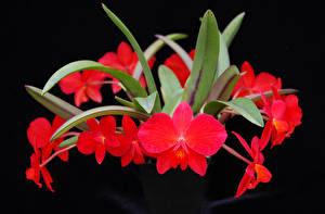 Фотографии Орхидеи Вблизи На черном фоне Красная Цветы