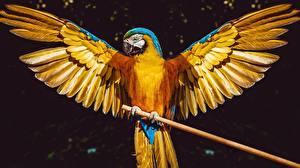 Картинки Попугаи Птицы Ара (род) Крылья Животные