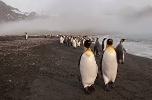 Картинка Пингвины Много Берег Животные