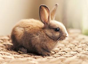 Картинки Кролики Крупным планом Пища
