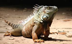 Картинки Рептилии Лапы Игуана