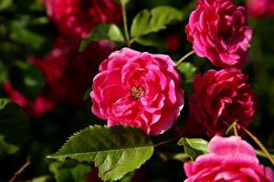 Фотографии Розы Вблизи Розовый