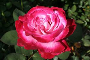 Фотографии Розы Крупным планом Розовая Цветы
