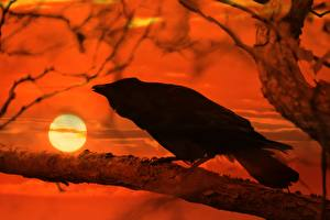 Картинки Рассвет и закат Ворона На ветке Солнце животное