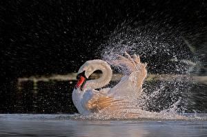Картинка Лебедь Вода С брызгами