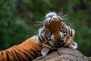 Картинка Тигры Взгляд