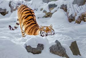 Фото Тигры Снега Смешные Животные