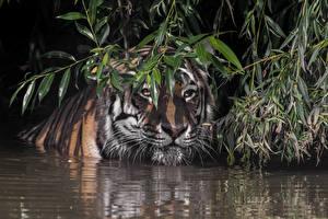 Фотографии Тигры Воде Морды На ветке Животные