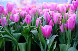 Обои Тюльпаны Вблизи Розовый