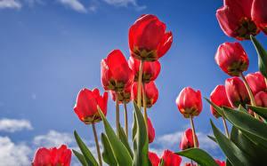 Картинки Тюльпаны Красный Вид снизу