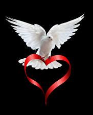 Картинки День святого Валентина Голуби Черный фон Белый Сердце Животные