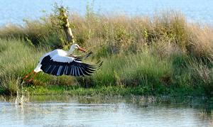 Картинка Вода Птицы Аисты Трава Летящий