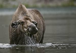Фотографии Вода Лоси Смотрит Животные