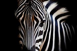 Картинка Зебры Вблизи Морда Животные