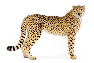 Картинки Большие кошки Леопарды Белый фон Смотрит Животные