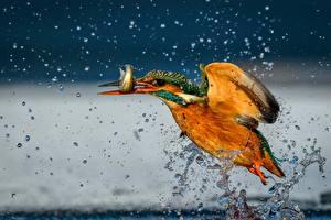 Обои Птицы Рыбы Обыкновенный зимородок Летящий Брызги