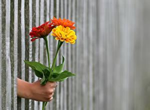Обои Букеты Ноготки Забор Рука цветок