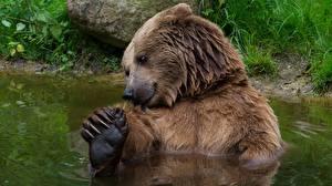 Картинки Медведи Гризли Вода Животные
