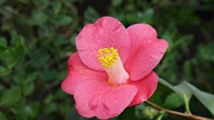 Фотография Камелия Вблизи Розовый Лепестки Цветы
