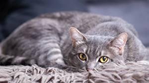 Картинка Кошки Взгляд Серый Животные