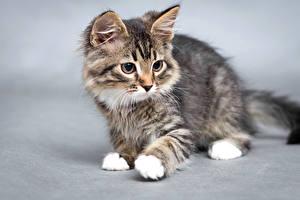 Фотография Кот Сером фоне Котят животное